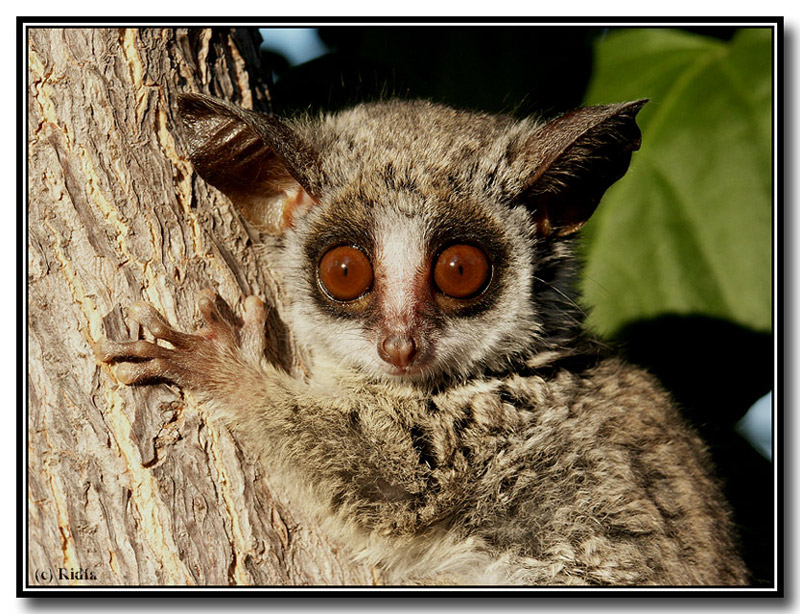bush baby monkey. Bush babies (from this month#39;s